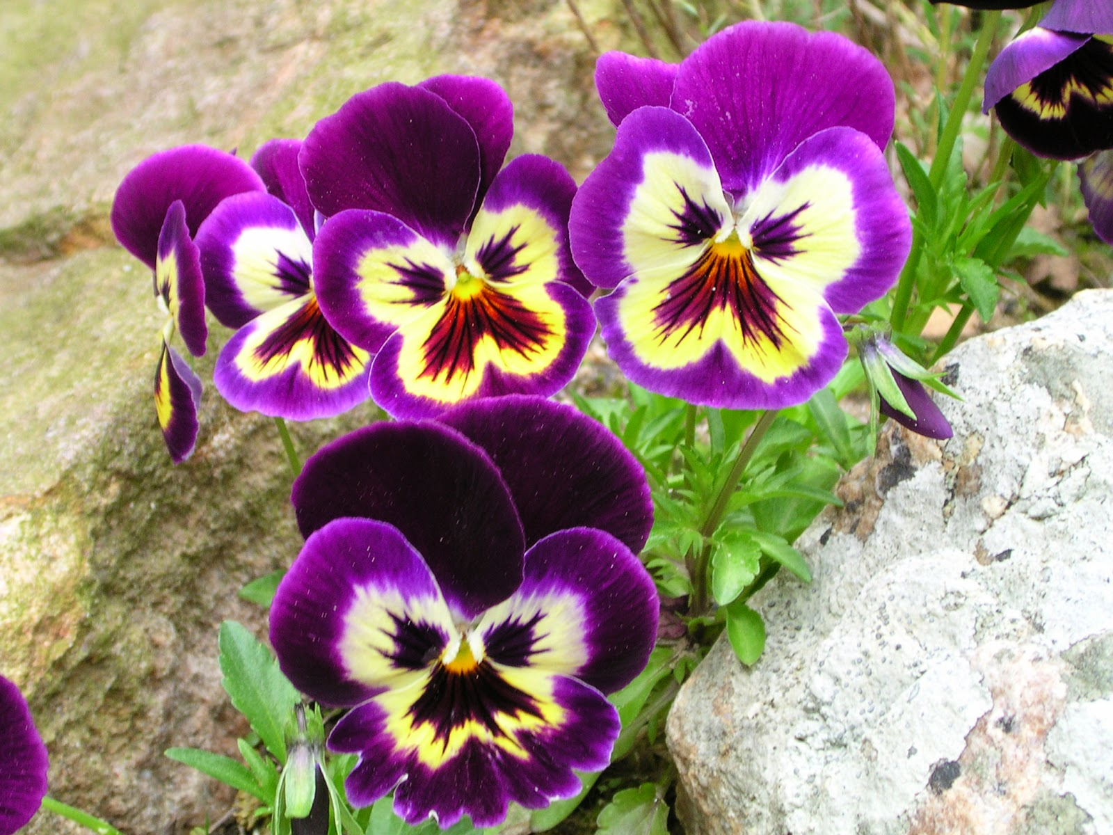 pansies flower meaning  flower, Natural flower