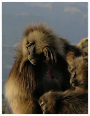 The vocal lip-smacks that geladas use in friendly encounters have surprising similarities to human speech, according to a study reported in the Cell Press journal Current Biology on April 8th. The geladas, which live only in the remote mountains of Ethiopia, are the only nonhuman primate known to communicate with such a speech-like, undulating rhythm. Calls of other monkeys and apes are typically one or two syllables and lack those rapid fluctuations in pitch and volume. Credit: Current Biology