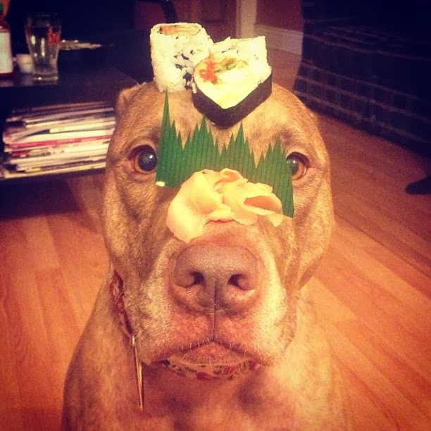 Scout the pit bull balances stuff on his head (30 pics), stuff on Scout's head, scout with sushi on his head