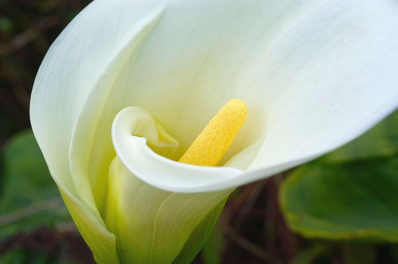 calla lily flower  flowers world, Beautiful flower