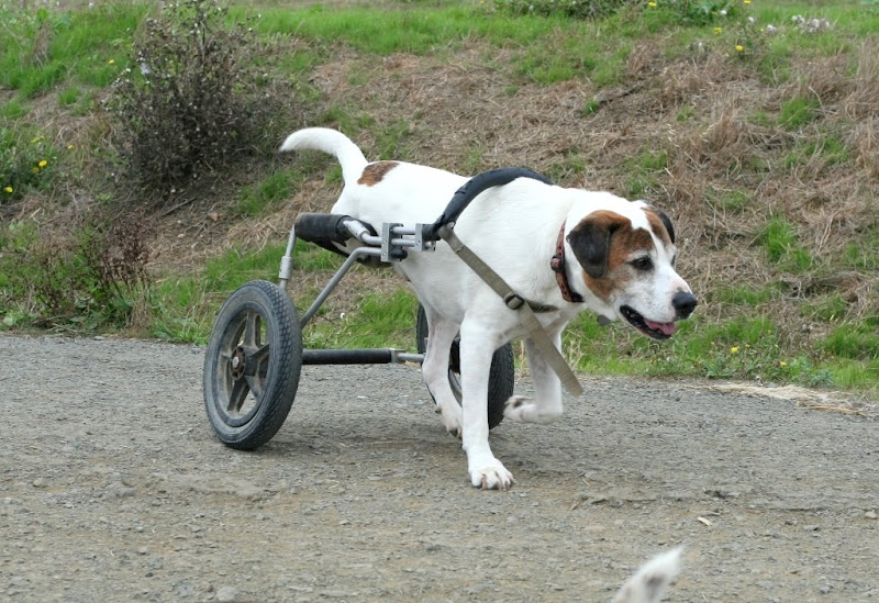 a medium sized white dog with brown spots, missing one hind leg, he is help up by a contraption with two wheels that enables him to walk along on three legs without hobbling