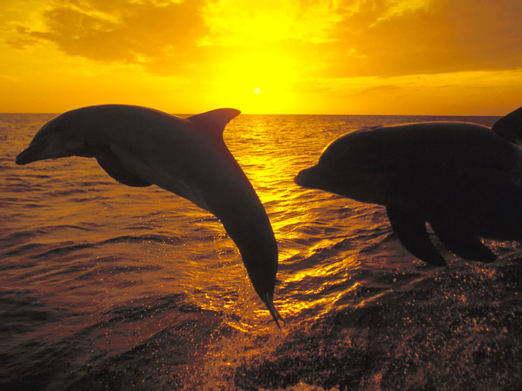 Dolphin love free wallpaper