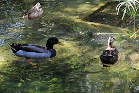 entre patos y palomas