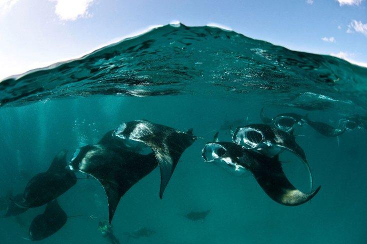 Gambar-gambar ikan pari jenis Manta Ray dari Warren Baverstock