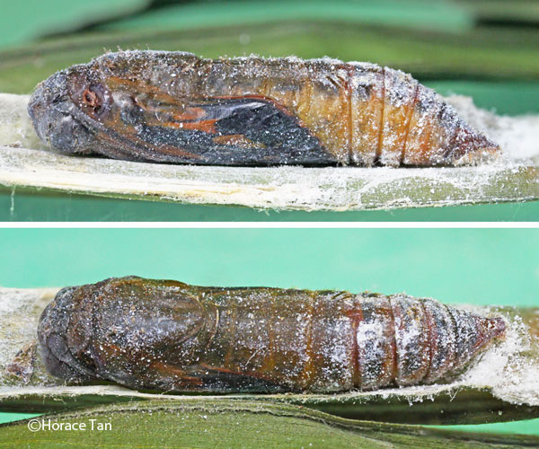 Two views of a mature pupa of the Yellow Streak Darter.