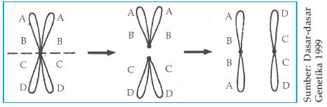 http://2.bp.blogspot.com/-5tQlt-ZN78s/UHJxYDM7QTI/AAAAAAAABPM/JopB9pJAVDY/s1600/Pembentukan+dua+isokromosom+akrosentris.png