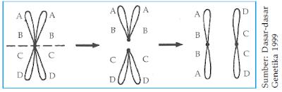 Pembentukan dua isokromosom akrosentris
