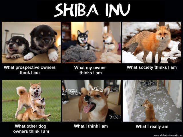 i am shiba
