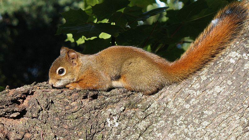 American red squirrel - Wikipedia