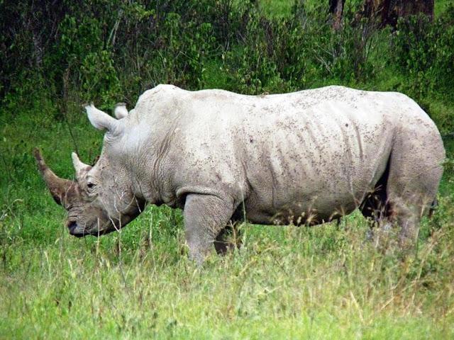 Canvas Wallart of White Rhino