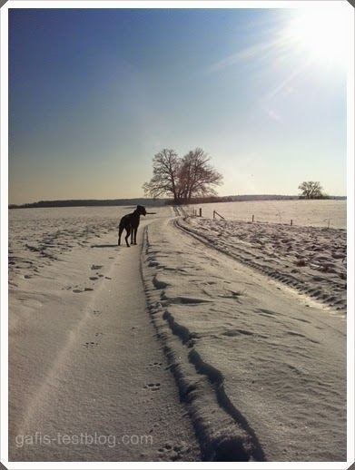 Boxer Amy unterwegs im Winter