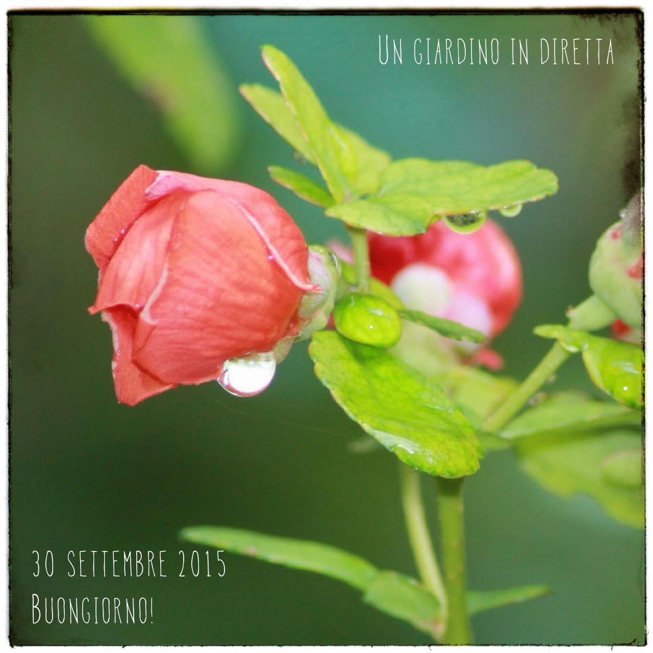 Top fiori di settembre: cotogno del Giappone (Chaenomeles japonica  WZ04