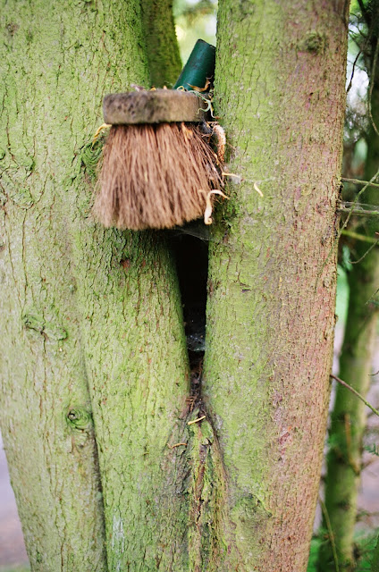 Horley broom tree