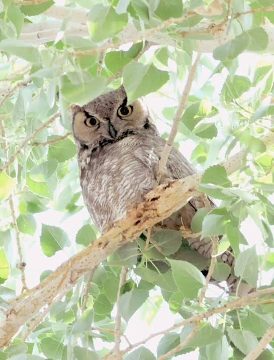 Great Horned Owl_8077