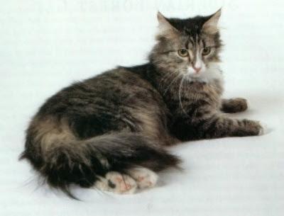 Foto Kucing Siberian