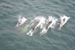 Dolphins on the way to the West