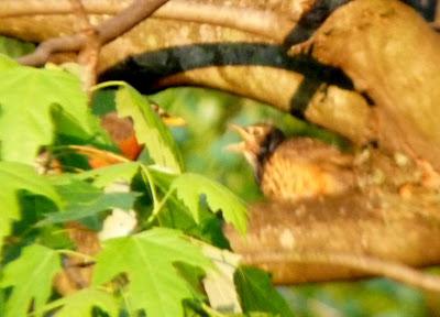 robin feeding young