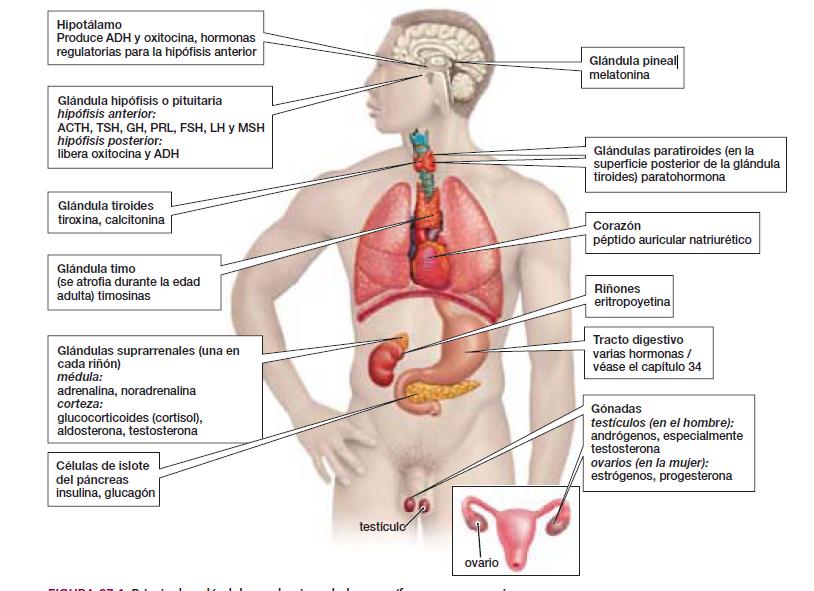 sistema endocrino: glándulas de mamíferos