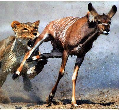 هل تعلم ان الغزالة اسرع من الاسد ورغم ذلك تسقط الغزاله فريسه للاسد لماذا ؟!