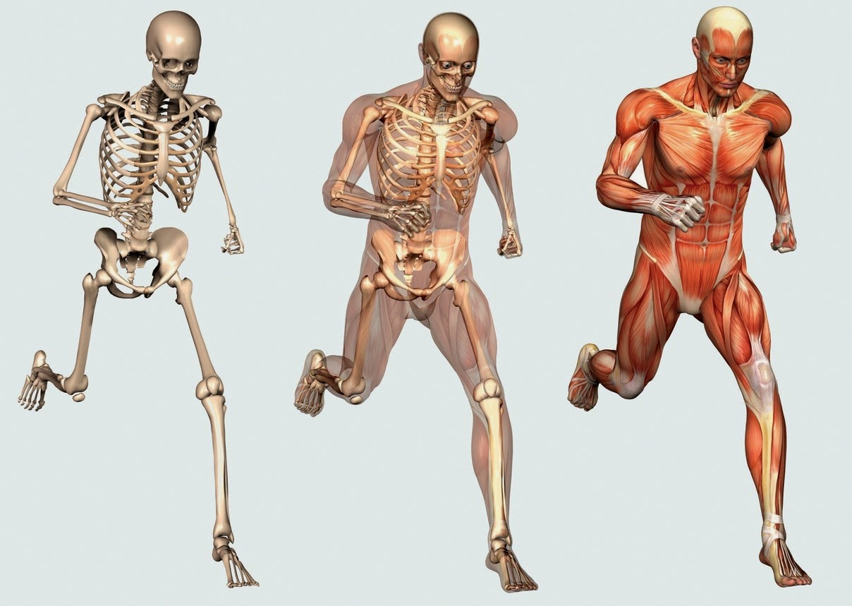 Human Skeleton Anatomy 10 Facts About The Human Skeleton Amrut