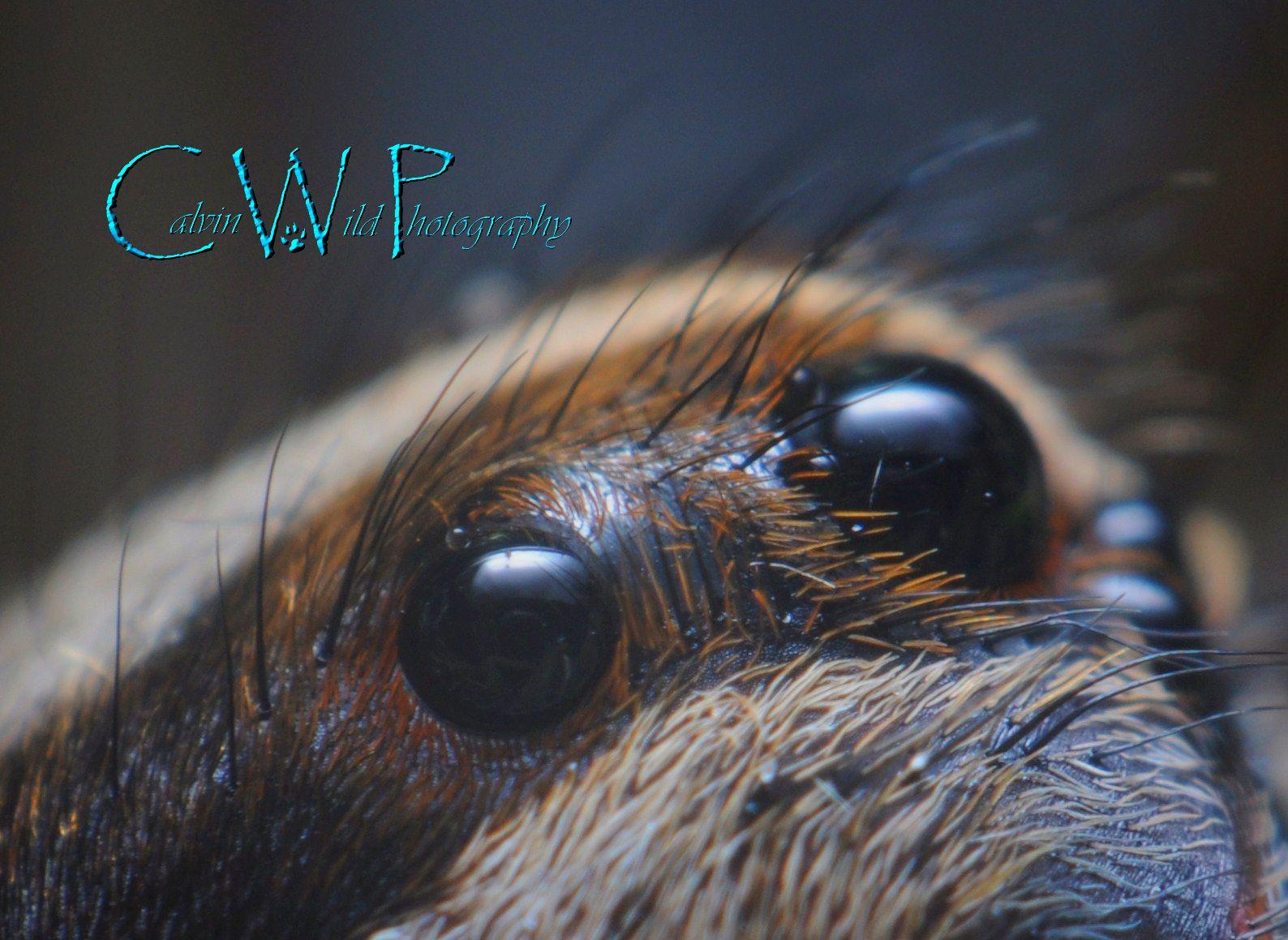 Wolf spider eyes glow - photo#11