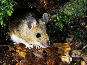 Ditemukan, 7 Jenis Tikus Baru