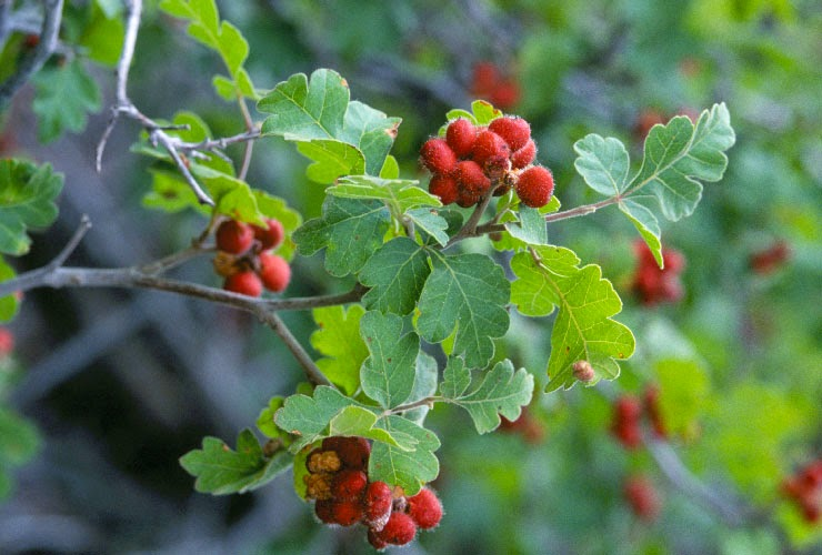Skunkbush Sumac (Rhus Trilobata) Overview, Health Benefits, Side effects