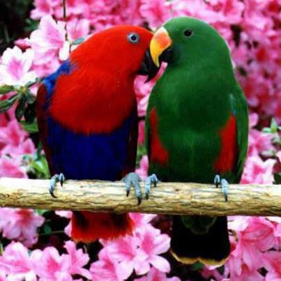 My beautiful love birds singing