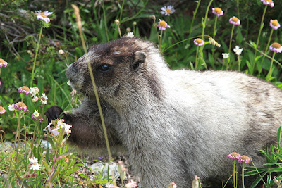Marmota caligata