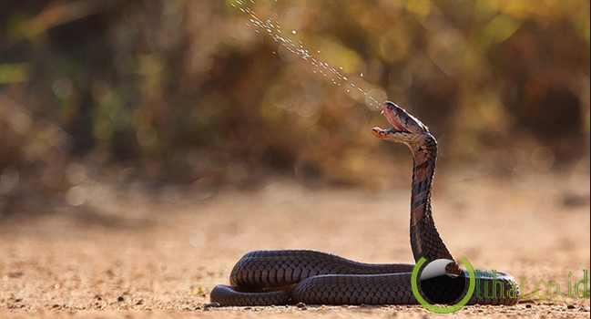 http://www.lihat.co.id/2013/06/8-jenis-ular-kobra-unik-di-negara-afrika.html