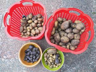 Ergebnis der Kartoffelernte 2015