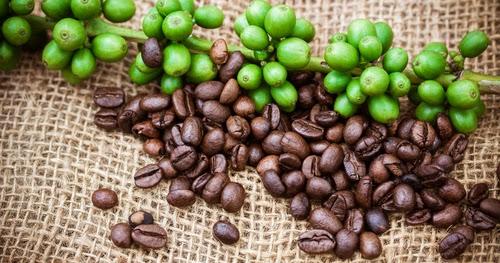 Fette Fakten  Leichter leben! Grüne Kaffeebohnen Die neueste Diät