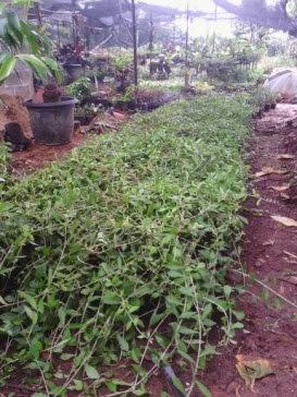 Menjual lee kwan yew jenis tanaman hias menjuntai
