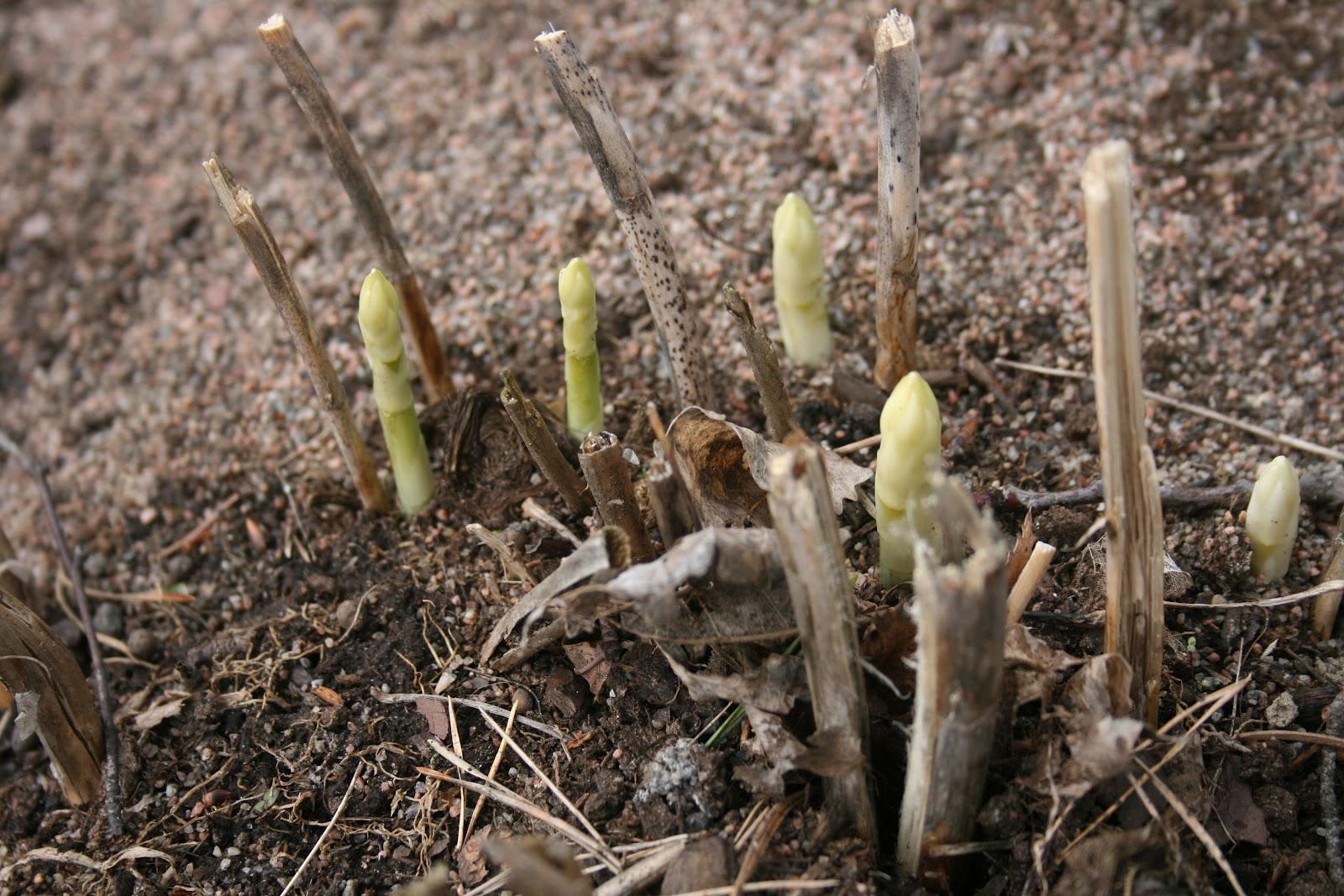 Helenas enkla vardag: maj i min trädgård!