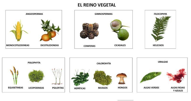 , se reconocen dos grupos Las plantas vasculares y no vasculares