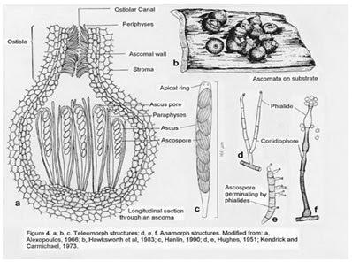 Struktur sel Ascomycotina
