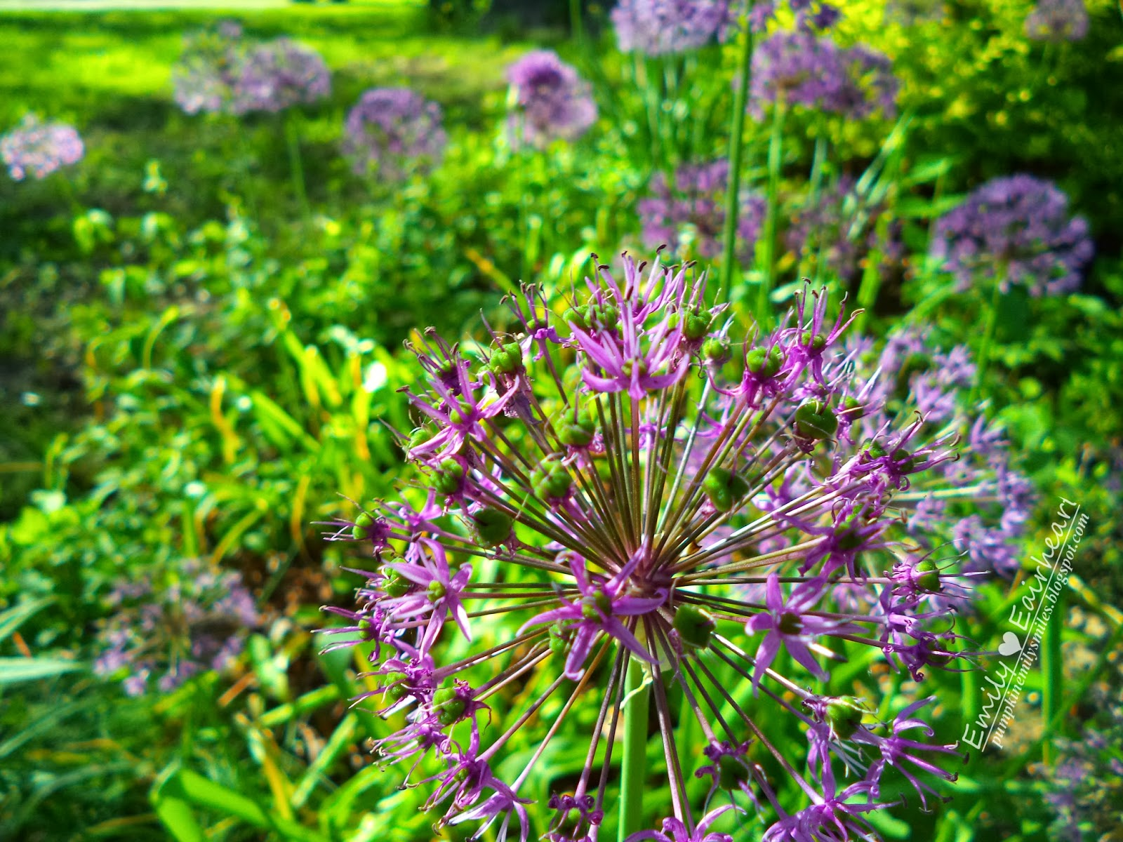 One close up of a Allium flower and many blurred behind.