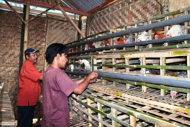 Koleksi Kandang Ayam Kampung Bahan Bambu dan Kayu Balok