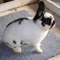 Jenis-jenis kelinci, Polish