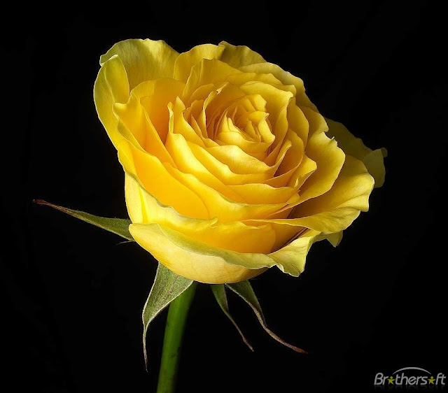 Beautiful Yellow Rose Flower Collections 27