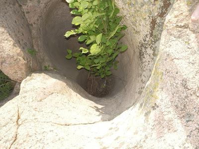 выросший внутри отверстия в граните куст торчит из скалы
