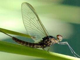 insecto cachipolla o efímera