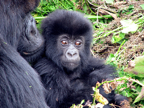 western lowland gorilla essay Gorillas are the largest of the great apes, but the western lowland gorilla is the  smallest and least endangered of the subspecies native to the congo basin, the .