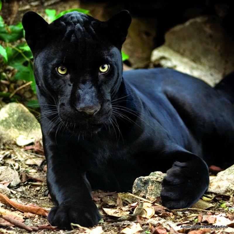 Info animales: LEOPARDO ( PANTHERA PARDUS )