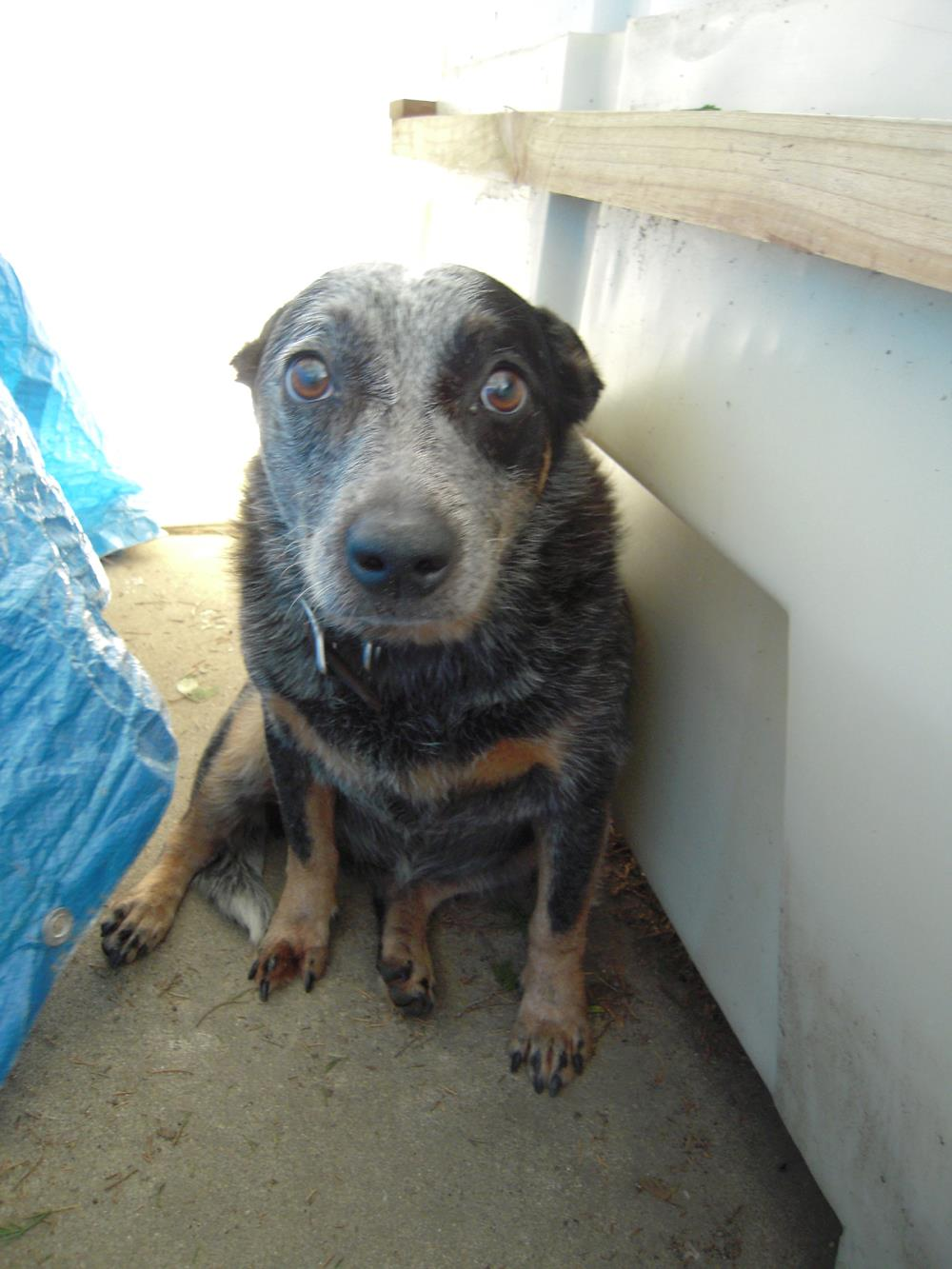 Lost Dogs Found: Lexie, cattle dog