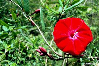Flor de  Carajás