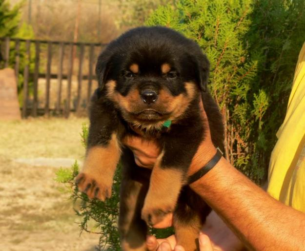 Cutecool Pets 4u Cute German Rottweiler Puppies Reviews And Pictures