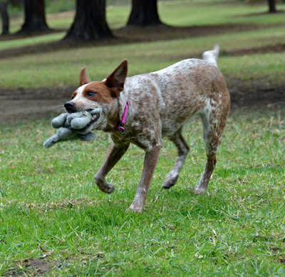 Queensland heeler with toy