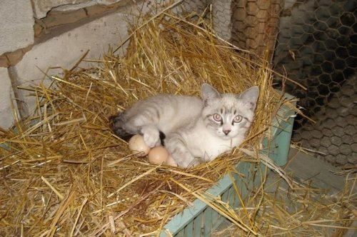 Cat is sitting on eggs