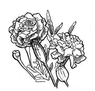 Marigold Drawing Images amp Pictures Becuo